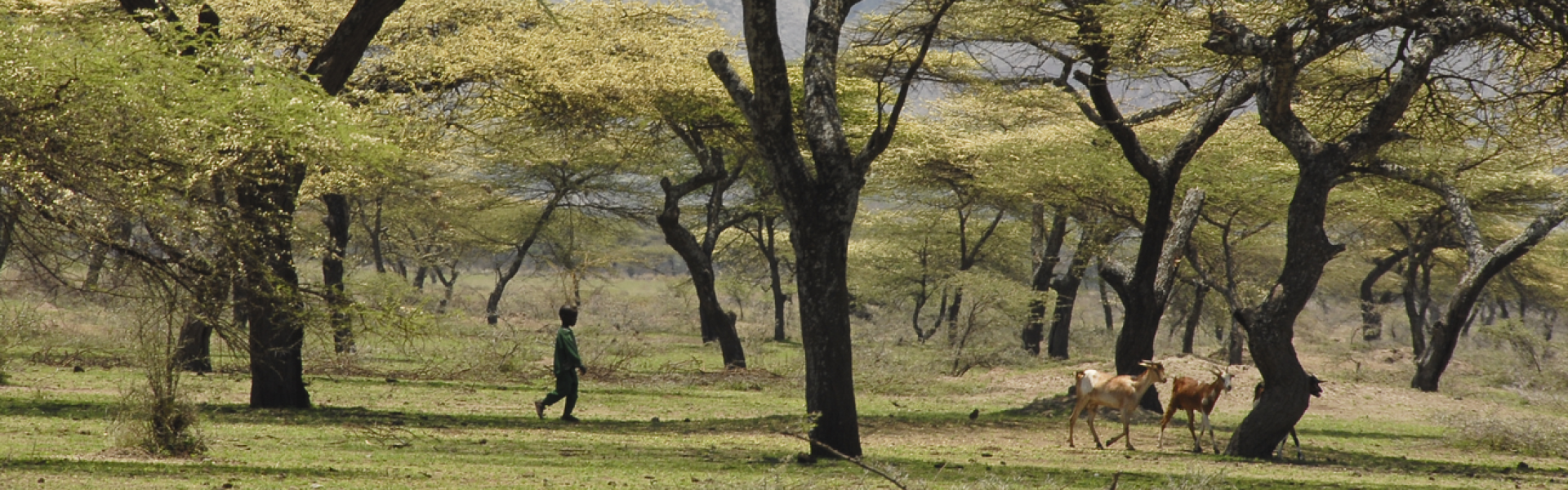 Acacia forest in Ethiopia.
